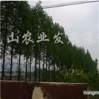 供应优质绿化树苗水杉