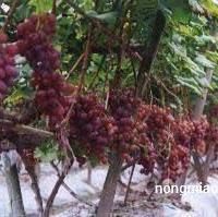 供应葡萄及其他果树苗木