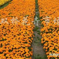 供应孔雀草、牵牛花、一串红、太阳花、万寿菊