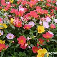 供应孔雀草、牵牛花、一串红、太阳花、万寿菊等