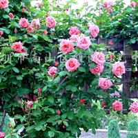 供应爬藤植物野蔷薇、炮仗花等