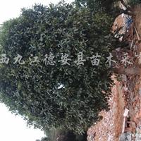 供应大树香樟、桂花、枫香、黄连木、栾树、无患子