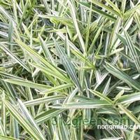 供应菲白竹、箬竹、紫竹、金镶玉竹、早园竹、早园竹等