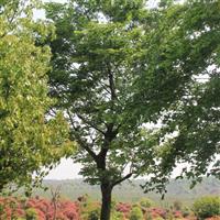 供应全冠移栽朴树