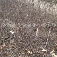 供应自产绿化苗木丛生紫薇1万株