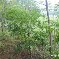 供应凤凰树、黄皮树、荔枝树苗