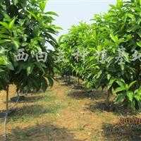 供应白兰花绿化树
