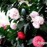 供应绿桂花、五色赤丹茶花、银边彩叶桂、银边刺桂、圆叶竹柏