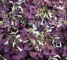 供应彩叶酢浆草、紫叶草