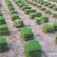 销售湖南马尼拉草皮、湖南马尼拉草坪