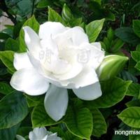 供应牡丹栀子花