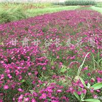 供应荷兰菊