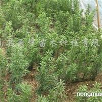 供应东北红豆杉种子苗、扦插苗、盆景苗