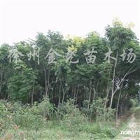 供应徐州栾树6--10CM