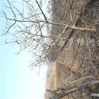 供6-8、8-10公分的山楂树