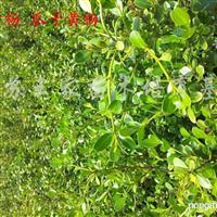 供应黄杨、女贞、木槿、红瑞木、樱花、海棠、地锦