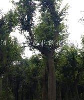 供应18、22、25公分榉树