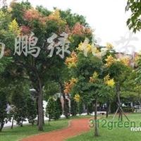 供应台湾栾树