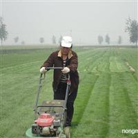 供应早熟禾、高羊茅、果岭草、剪股颖、结缕草