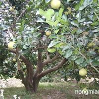 供应胡柚树、板栗树、柑橘树
