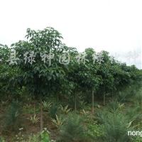 供应重阳木2-10-15公分苗及重阳木小苗