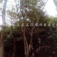 供应丛生朴树