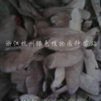 供应红枫种子