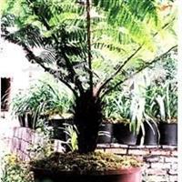 供应桫椤树盆景、地景