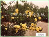 供应山樱桃容器苗