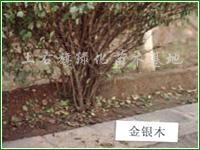 供应金银木
