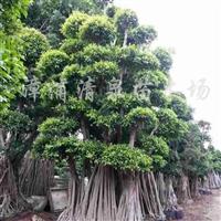供应造型小叶榕、榕树观景树