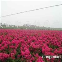 供应红花紫薇
