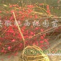 供应红叶碧桃