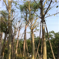 供应移栽地苗菩提树