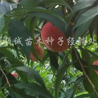 供应绿化九号桃树苗