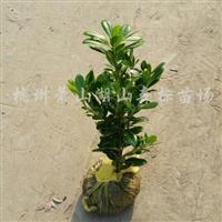 供应海桐色块苗高度40cm-50cm