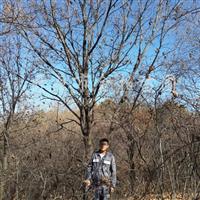 供应蒙古栎