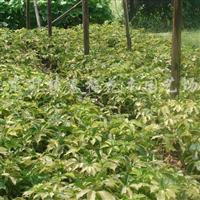 长期供应以下苗木、价格优惠