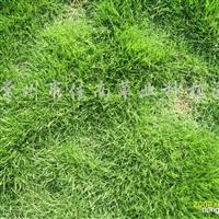 供应狗牙根、中华结缕草、马尼拉草坪