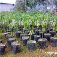 供应檀香苗、竹节树、黄槐、秋枫、美丽异木棉