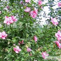 供应木槿、迎春花、丁香、红瑞木、棣棠