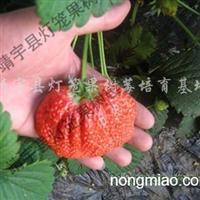 供应四季草莓苗