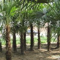 供应1-3米棕榈