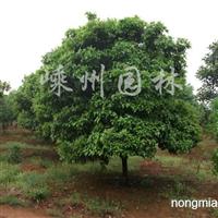 供应四季桂P300