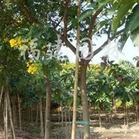 供应胸径5-6-7-8公分的黄花槐袋苗