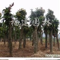 供应绿化芒果树