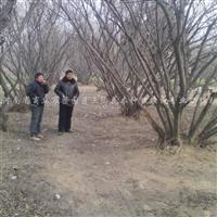 出售多年生特大型多杆樱桃景观造景树