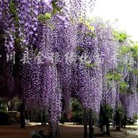 供应紫藤、凌霄、常春藤、常青藤、爬山虎、地锦、连翘