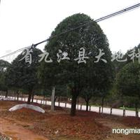 供应米径10-20cm桂花