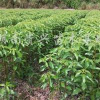 供应香樟苗
